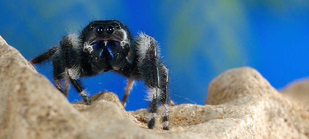 BoldJumpingSpider-S