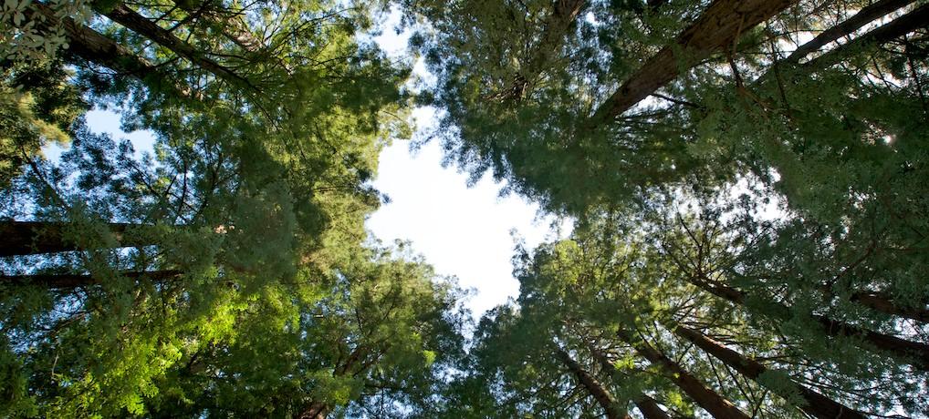 Redwood-S
