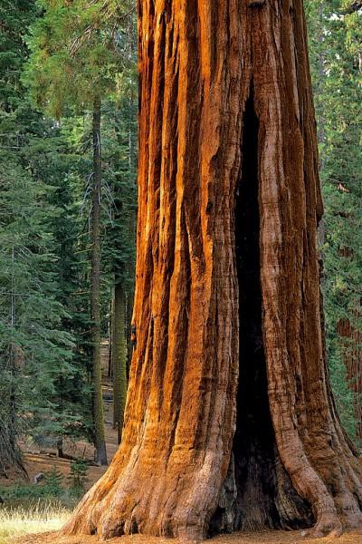 Giant Sequoia (Redwood)