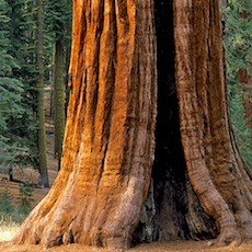 Redwood (Sequoia)