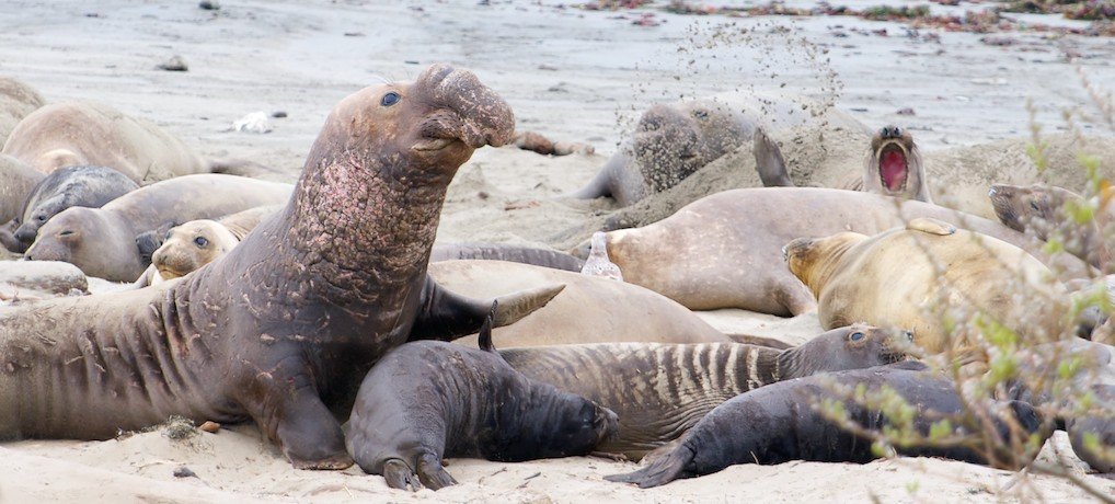Northern Elephant Seal-S