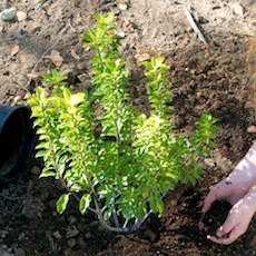 Now is the time to prune and plant bushes and trees!