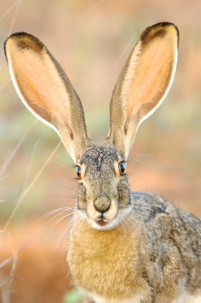 Black-tailed Jackrabbit 2